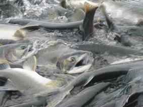 Prince William Sound pinks push second-biggest Salmon haul in 20 years - Aquaculture Directory | Aquaculture Directory | Scoop.it