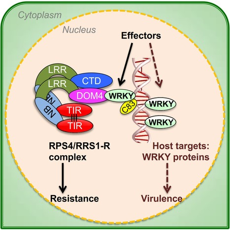 Cell : A Plant Immune Receptor Detects Pathogen Effectors that Target WRKY Transcription Factors (2015) | Plants and Microbes | Scoop.it