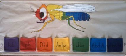 Finished Drosophila Genetics Wall-hanging | BS2040: Bioinformatics | Scoop.it