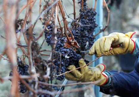 Producers of ice wine see wintry blast as their salvation | Vitabella Wine Daily Gossip | Scoop.it