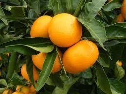 A Destructive New Disease of Citrus in China Caused by Cryptosporiopsis citricarpa sp. nov. | Almanac Pests | Scoop.it