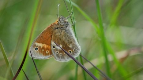 Rare bog butterfly flutters back from brink - BBC News | GMOs & FOOD, WATER & SOIL MATTERS | Scoop.it