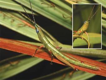 Un précieux criquet primitif refait surface… | EntomoNews | Scoop.it