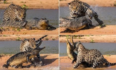 Brutal moment a jaguar stalks and ambushes a caiman before dragging re   Rapid Environmental Services   Scoop.it