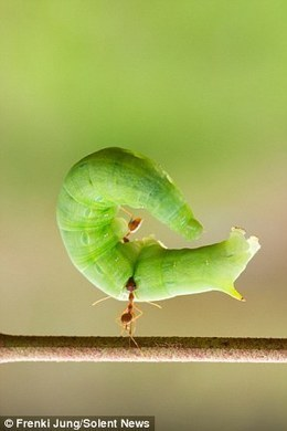 Tiny ant picks up caterpillar using just its jaws | All About Ants | Scoop.it