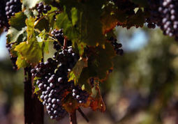 Tucson to host Wine in the Desert | Arizona Daily Star | CALS in the News | Scoop.it