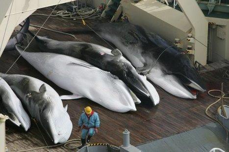 La flota ballenera japonesa capturó 333 ballenas minke – la mayoría hembras preñadas | Planeta Tierra | Scoop.it