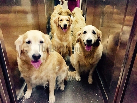 These 3 Golden Retrievers Are Employees at Mumbai T2. For a Reason That'll Make Your Heart Soar! | This Gives Me Hope | Scoop.it