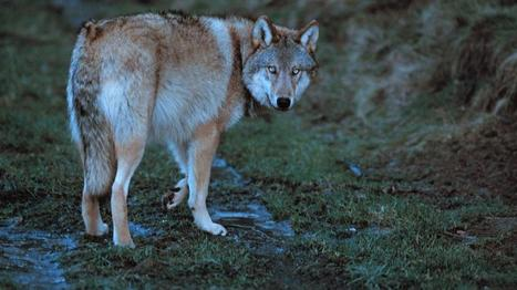 Jakthund trolig drept av ulv   Rovdyrkonflikt2   Scoop.it