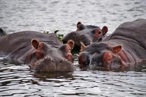 New evidence suggests hippos may sometimes eat meat | World Environment Nature News | Scoop.it