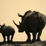 Rhino Crisis: Death Toll Soars to 373 in South Africa | What's Happening to Africa's Rhino? | Scoop.it