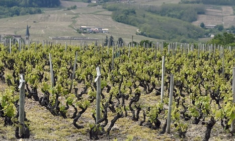 Le Marche Wines among the organic wines that's worth a detour by TheGuardian | Wines and People | Scoop.it