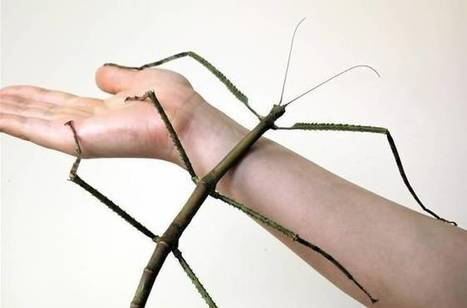 24-inch stick insect clinches record for world's longest 'bug' | 100 Acre Wood | Scoop.it