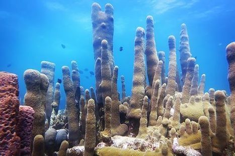 Baby #Corals Grown in the #Lab Could #SaveThreatened #OceanReefs | Rescue our Ocean's & it's species from Man's Pollution! | Scoop.it