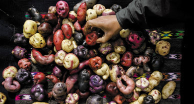 How the Potato Changed the World | Agricultural Biodiversity | Scoop.it