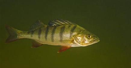 Anti-Anxiety Drug Makes Fish Live Longer | Longevity science | Scoop.it