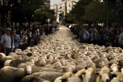 Spanish Shepherds Guide 2,000 Sheep Through Madrid's Streets | enjoy yourself | Scoop.it