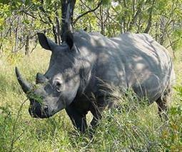S.Africa rhino poaching toll approaches 1,000 | Recruiting | Scoop.it