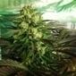 Conociendo el cannabis: 10 curiosidades sobre la marihuana y su consumo | Curiosidades | Scoop.it