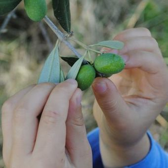 Tour Tuscany's olive orchards throughout the harvest | Italia Mia | Scoop.it