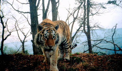 Canine Distemper Could Wipe Out Siberian Tigers   Extinction Countdown, Scientific American Blog Network   Sustain Our Earth   Scoop.it