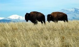 Return of the bison: new American national symbol tells story of strife | GarryRogers Biosphere News | Scoop.it