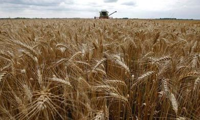 Genetically modified wheat found in Oregon field raises trade concerns - The Guardian | GMOs & FOOD, WATER & SOIL MATTERS | Scoop.it