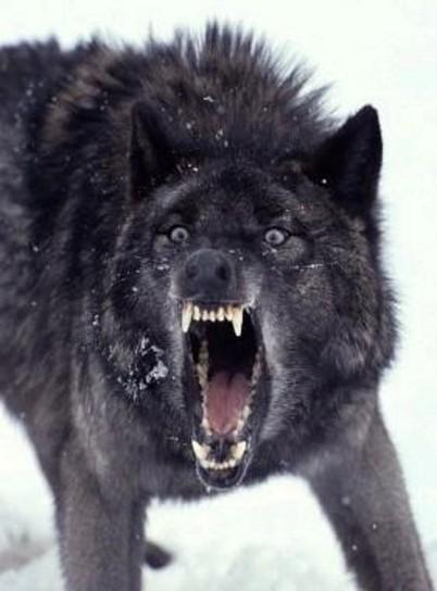 Love is a Wolf | Alienated Me | Scoop.it