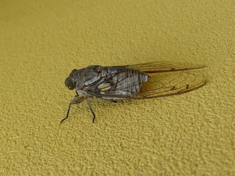 Photo de Cicadidé : Cigale du Panama - Cicada - Insectes du Panama   Fauna Free Pics - Public Domain - Photos gratuites d'animaux   Scoop.it