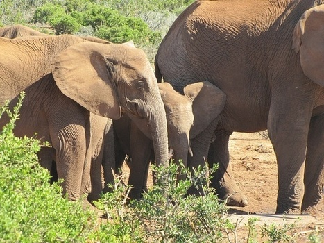 Most animals don't have grandmas. But elephants do. And what Granny does is awesome. | IELTS, ESP, EAP and CALL | Scoop.it
