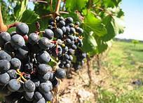 La récolte plus petite ne concerne pas les vins de qualité | Autour du vin | Scoop.it