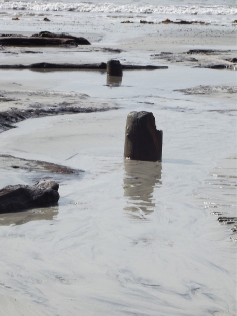 L'apparition de la Forêt Préhistorique sur la plage des Sables Blancs à Concarneau (29). | Mégalithismes | Scoop.it