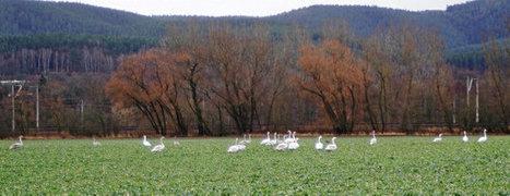 Auf den Feldern überwintert: Dutzende Schwäne lassen sich den Raps im Saaletal schmecken | Agrarforschung | Scoop.it