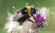 Bumblebee lost to UK makes comeback on Dungeness shingle | 100 Acre Wood | Scoop.it