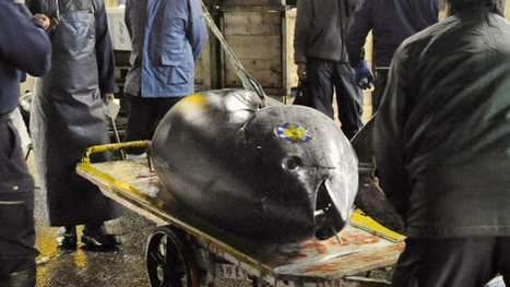Record historique, un thon rouge vendu 300.000 euros | Mais n'importe quoi ! | Scoop.it