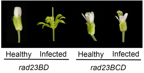 PLOS Biology: Phytoplasma Effector SAP54 Hijacks Plant Reproduction by Degrading MADS-box Proteins and Promotes Insect Colonization in a RAD23-Dependent Manner (2014) | Plants and Microbes | Scoop.it