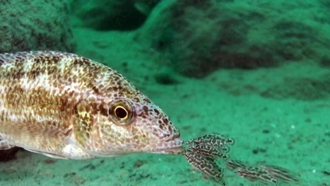 Vidéo Plongée HD | Les espèces mystérieuses du lac Malawi ! | Plongeurs.TV | Scoop.it