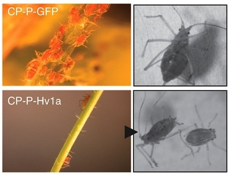 Nature Biotechnology: Toxin delivery by the coat protein of an aphid-vectored plant virus provides plant resistance to aphids (2013) | Plants and Microbes | Scoop.it