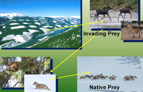"""""""Using predator-prey theory to predict outcomes of broad-scale experiments to reduce apparent competition"""" 