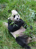 Ailuropoda melanoleuca (Giant Panda) | conservation on giant panda | Scoop.it