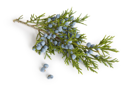The multipurpose and multibenefit Juniper Berry oil is here | 100% Pure and Orgnic Carriers Oils | Scoop.it