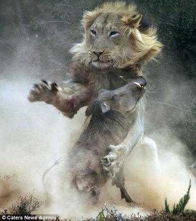 Lion vs. Warthog - Africa Geographic Magazine Blog | Everything Photographic | Scoop.it