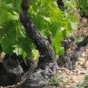 La musique fait du bien... aux vignes | Vous avez dit Food ? | Scoop.it