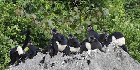 Un groupe de primates en voie de disparition repéré au Vietnam | Biodiversité | Scoop.it
