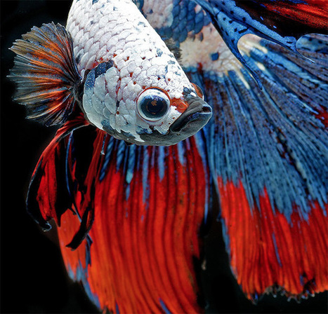 Photo Series Captures the Stunning Beauty of Siamese Fighting Fish | Photography | Scoop.it