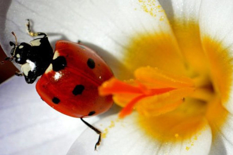 Les fleurs protègent les champs contre les parasites   EntomoNews   Scoop.it