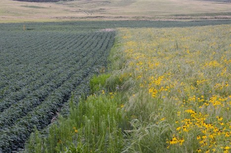 Iowa farmers ripped out prairie; now some hope it can save them | enjoy yourself | Scoop.it