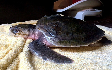 Rare sea turtle fights for life after straying 5,000 miles to Cumbria - Telegraph | animals and prosocial capacities | Scoop.it