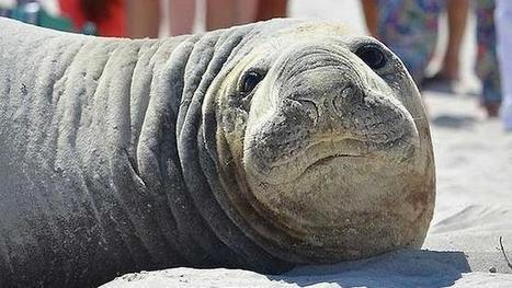 Perth's star seal attraction 'Steven Sealberg' slips away then returns on Sorrento Beach   Australian Tourism Issues & Trends   Scoop.it