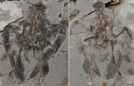 Le plus ancien ancêtre des oiseaux | Merveilles - Marvels | Scoop.it